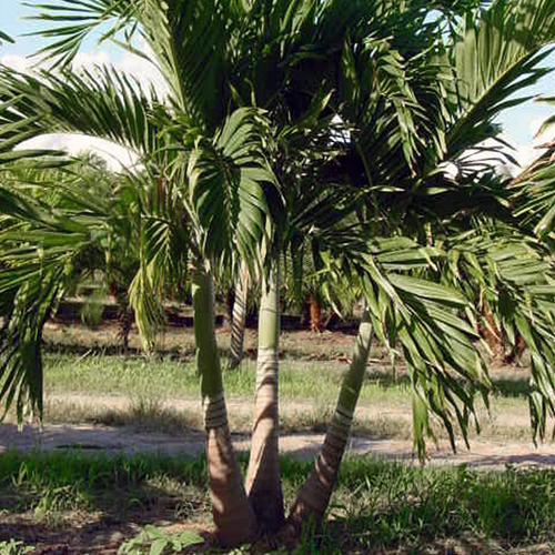 Christmas Palm Field Grown Aprox 8 feet $340 Planted