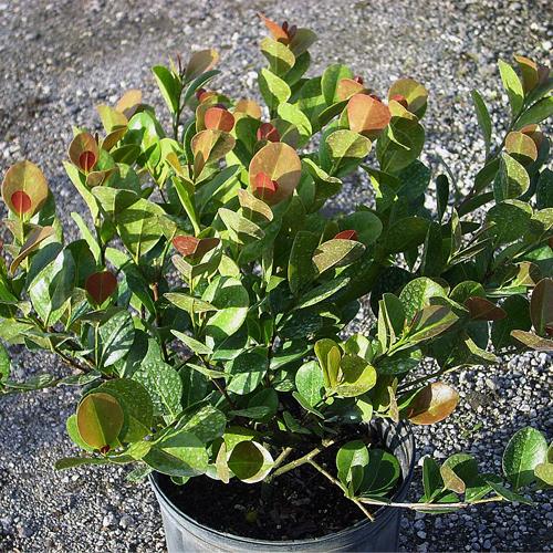 Cocoplum 3 gallon $11 or $15 planted