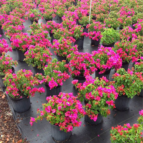 Dwarf Bougainvillea 3 gallon $11 or planted $15