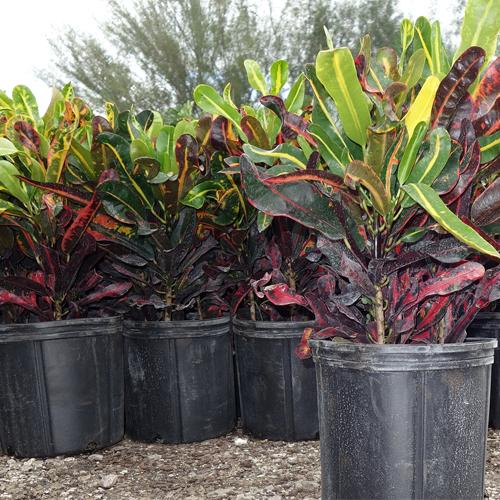 Mami Croton $11 or $15 planted