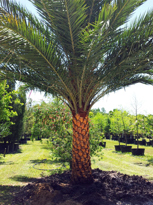 Sylvester Palm Call for price and size