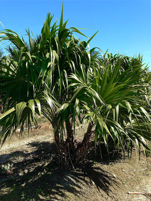 Thatch Palm Call for price and sizes