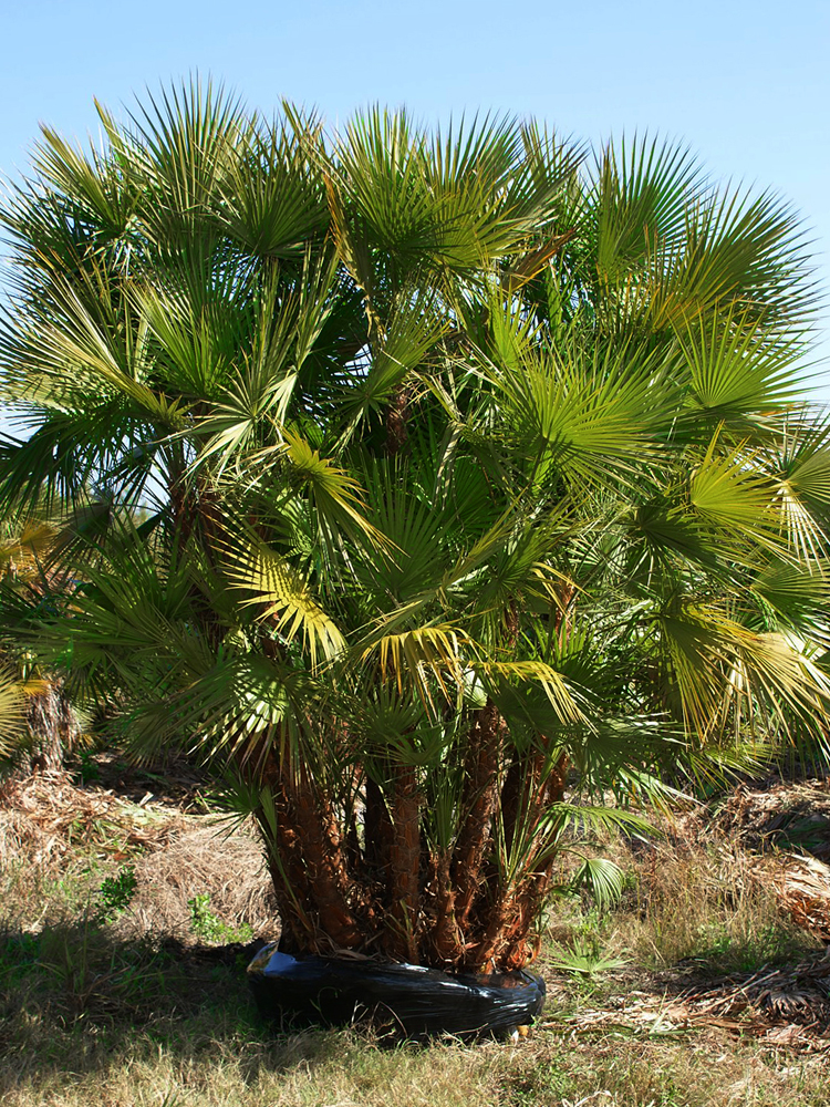 <strong>Paurotis Palm </strong> <br> <em>Call for size, stem count, price</em>