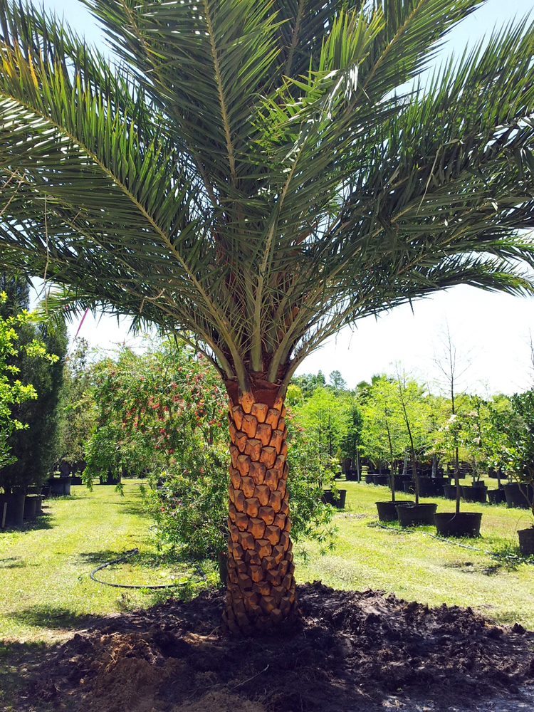 <strong>Sylvester Palm </strong> <br> <em>Call for price and size </em>