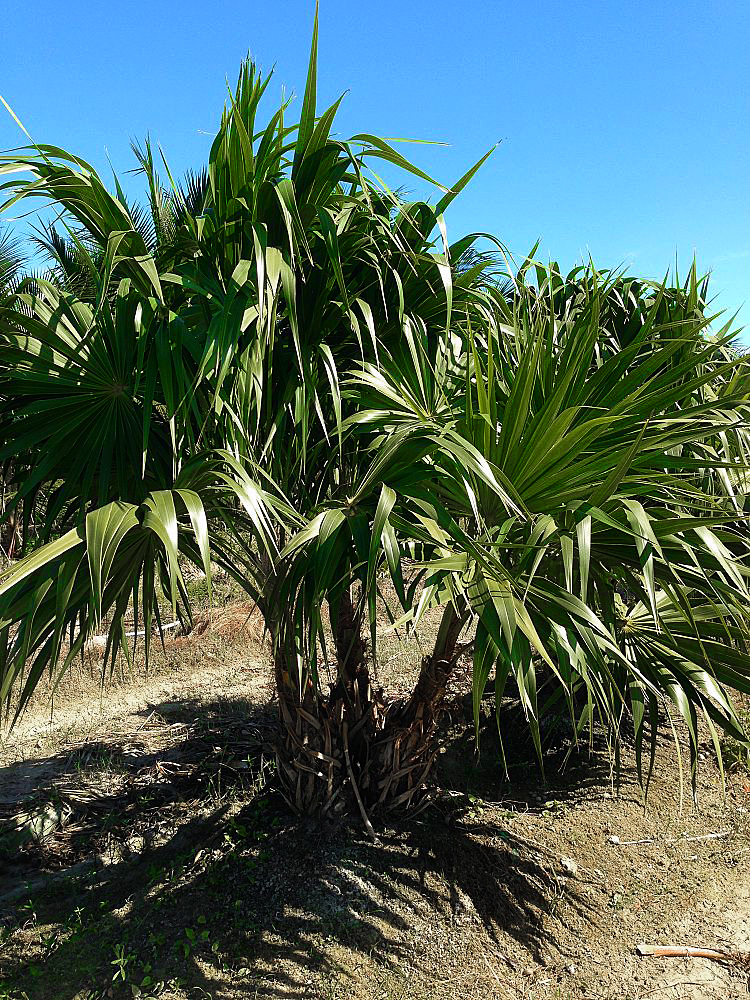 <strong>Thatch Palm </strong><br> <em> Call for price and sizes </em>